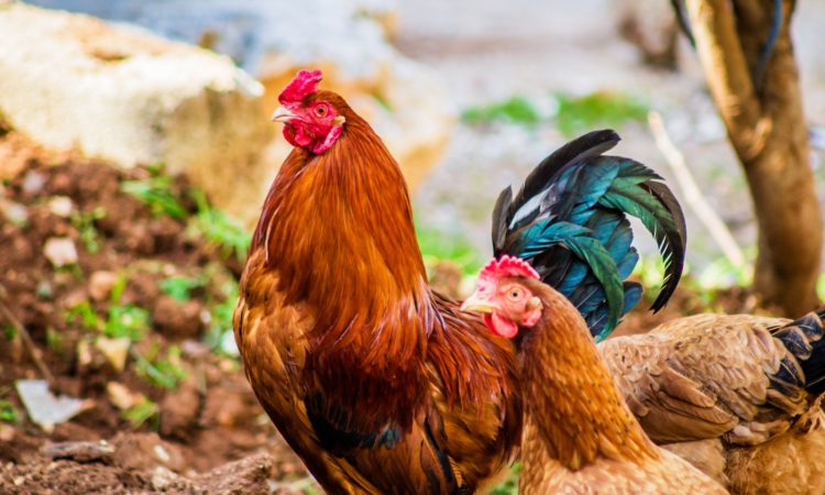 What is a chicken pecking order?